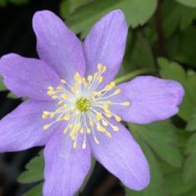 "Anemone Nemorosa ""Bowles Purple"""