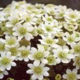 Clematis Marmoraria