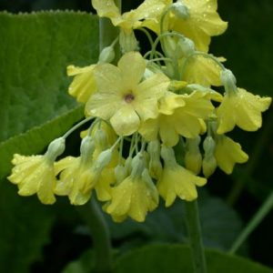 Primulas - Asiatic and other