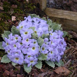 Primulas - Petiolaris