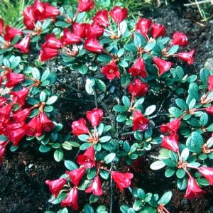 Rhododendron - Dwarf and Compact
