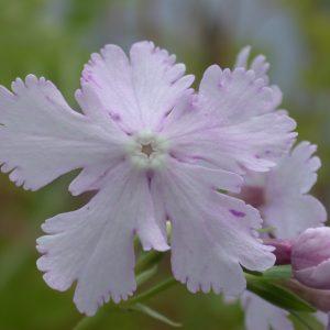 Primulas - Sieboldii